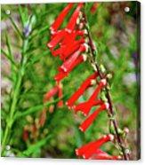 Scarlet Bugler In Rancho Santa Ana Botanic Garden In Claremont-californi Acrylic Print