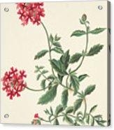Scarlet Flowered Vervain Acrylic Print