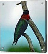 Scarlet Gorget - Ruby-throated Hummingbird Acrylic Print