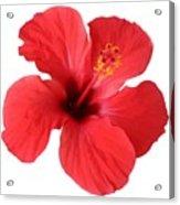 Scarlet Hibiscus Tropical Flower  Acrylic Print