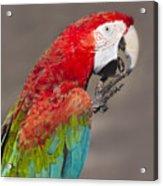 Scarlet Macaw - 2 Acrylic Print