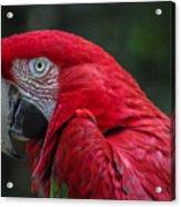 Scarlet Macaw Acrylic Print by Fabio Giannini