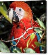 Scarlet Macaw La Macarena Colombia Acrylic Print