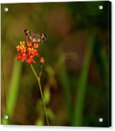 Scarlet Milkweed And Butterfly Acrylic Print
