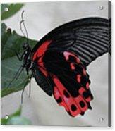 Scarlet Mormon Butterfly #2 Acrylic Print