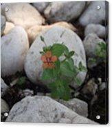 Scarlet Pimpernel Flower Acrylic Print