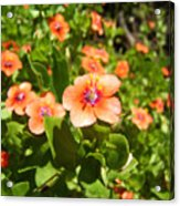 Scarlet Pimpernel Flower Photograph Acrylic Print