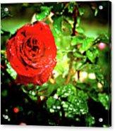 Scarlet Raindrops Acrylic Print