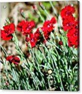 Scarlet Red Dianthus Acrylic Print