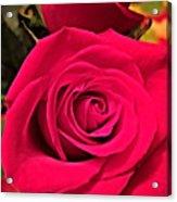 Scarlet Roses Acrylic Print