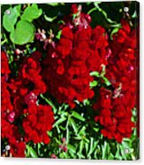 Scarlet Snapdragons At Pilgrim Place In Claremont-california  Acrylic Print