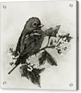 Scarlet Tanager - Black And White Acrylic Print