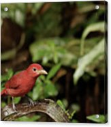Scarlet Tanager In Costa Rica Acrylic Print