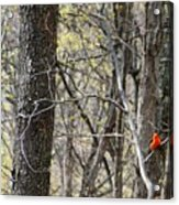 Scarlet Tanager Male Facing Acrylic Print