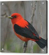 Scarlet Tanager On Stalk Acrylic Print