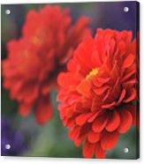 Scarlet Zinnias Acrylic Print