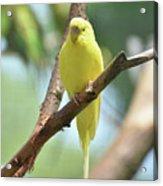 Scenic View Of An Adorable Yellow Parakeet Acrylic Print