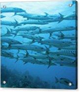School Of Barracudas Underwater Acrylic Print