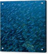 School Of Fish On Mas Bango Reef In Aruba Acrylic Print