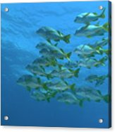School Of Yellowtail Grunt Underwater Acrylic Print