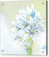 Scilla Bifolia Acrylic Print