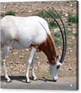 Scimitar Horned Oryx Acrylic Print