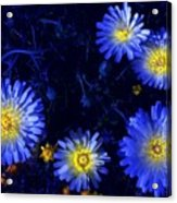 Scintillating Daisies Acrylic Print