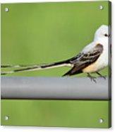 Scissor-tail Flycatcher Acrylic Print