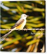 Scissor-tailed Flycatcher Acrylic Print