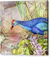 Scooting Coot - Purple Swamphen Acrylic Print