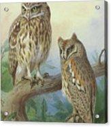 Scops Owl By Thorburn Acrylic Print