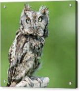 Scops Owl Acrylic Print
