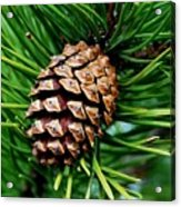 Scotch Pine Cone Acrylic Print