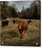 Scotopic Vision 9 - Cows Come Home Acrylic Print