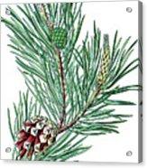 Scots Pine, Pinus Silvestris Acrylic Print