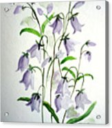 Scottish Blue Bells Acrylic Print