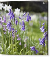 Scottish Bluebells Acrylic Print