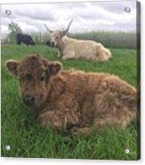 Scottish Highland Calf Acrylic Print