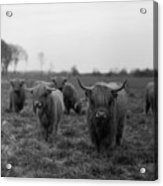 Scottish Highland Cattle On Field Acrylic Print by Stephan Ohlsen