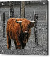 Scottish Highlander Acrylic Print