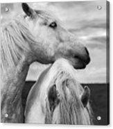 Scottish Horses Acrylic Print