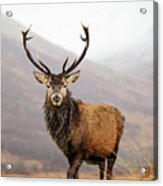 Scottish Red Deer Stag - Glencoe Acrylic Print