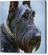 Scottish Terrier Dog Acrylic Print by Jennie Marie Schell