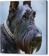 Scottish Terrier Dog Acrylic Print