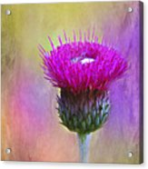 Scottish Thistle Acrylic Print