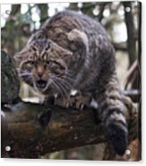 Scottish Wildcat Acrylic Print