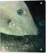 Scrawled Filefish Profile, Alutera Acrylic Print