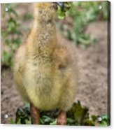 Screamer Chicking Eating His Spinach Acrylic Print