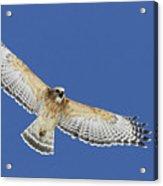 Screaming Hawk Acrylic Print
