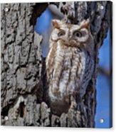 Screech Owl #1 Acrylic Print